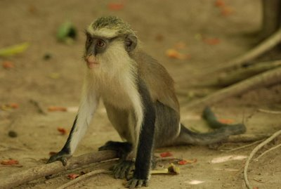 Monkey at Tafi Atome